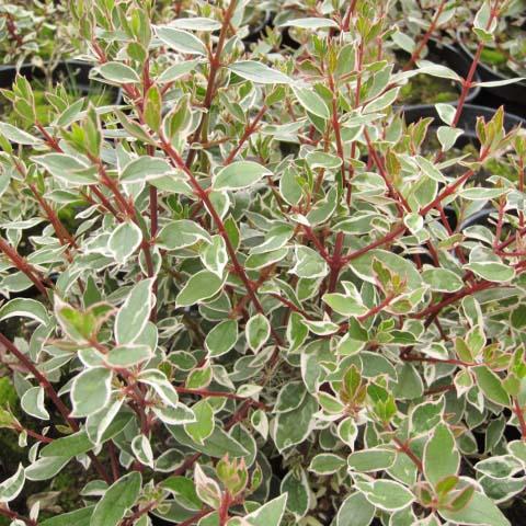 Abelia Chinensis Variegata Old Hall Nurseries