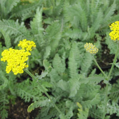 achillea-parkers-variety