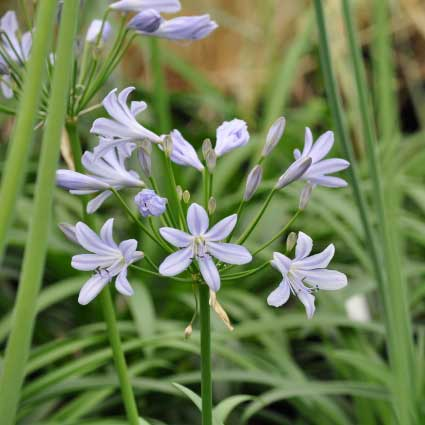 agapanthus-blue-prince