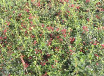 escallonia-red-elf