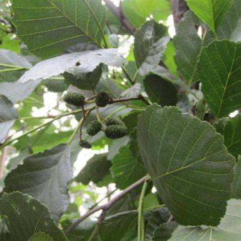 alnus-glutinosa