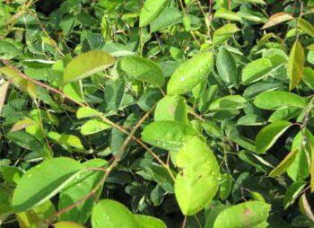 amelanchier-lamarkii