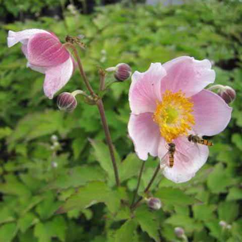 anemone-september-charm