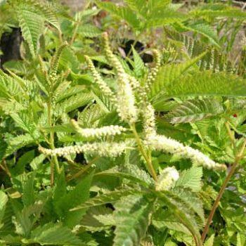 aruncus-diocus-kamtschaticus
