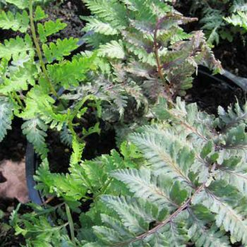 athyrium-ursulas-red