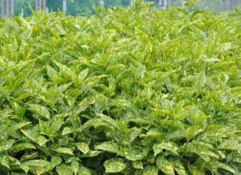 aucuba-jap-crotonifolia