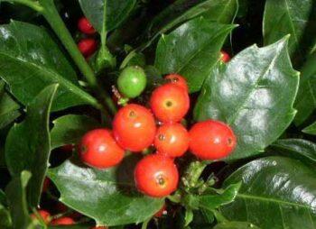 aucuba-japonica-rozanne