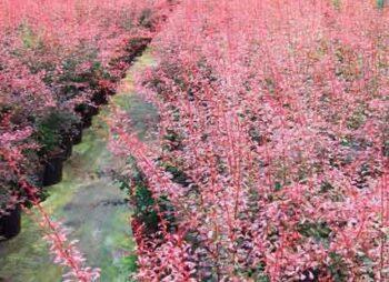 berberis-rose-glow