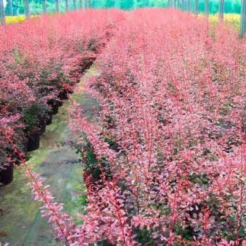 berberis-rose-glow