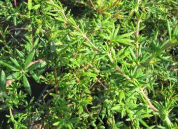 berberis-stenophylla