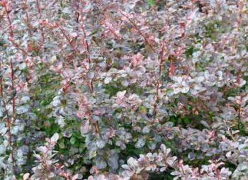 berberis-thun-atropurpurea