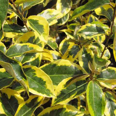 Eleagnus gilt edge