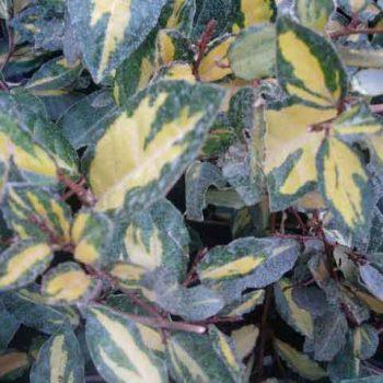 elaeagnus-pungens-maculata
