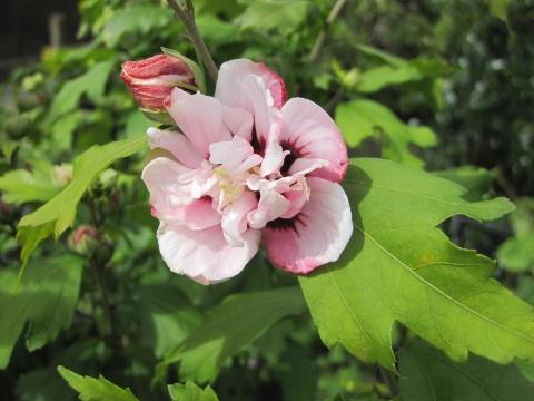 hibiscus lady stanley old hall nurseries. Black Bedroom Furniture Sets. Home Design Ideas